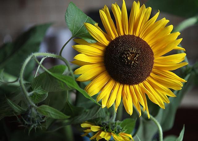 Sunflowers flowers yellow flowers.