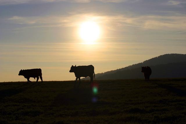 Sunset the cows pasture, travel vacation.