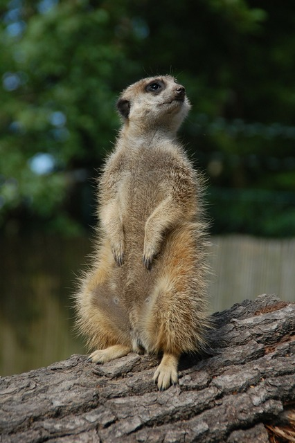 Suricat animal upright, animals.
