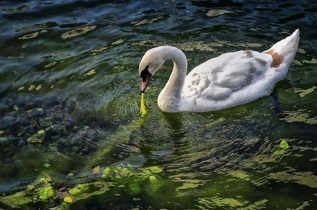 Swan bird animals, animals.