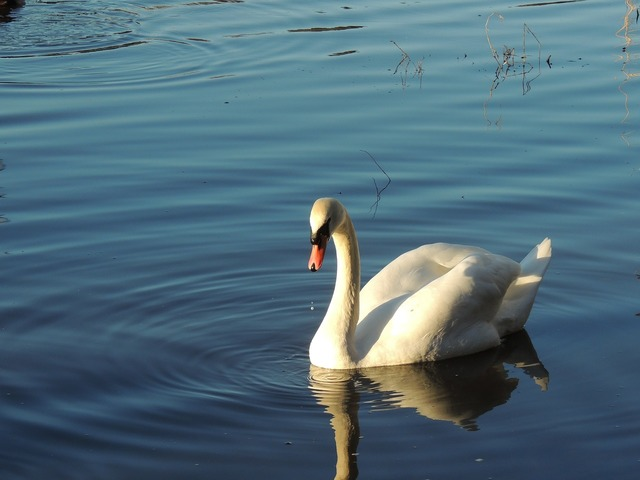 Swan bird nature, animals.