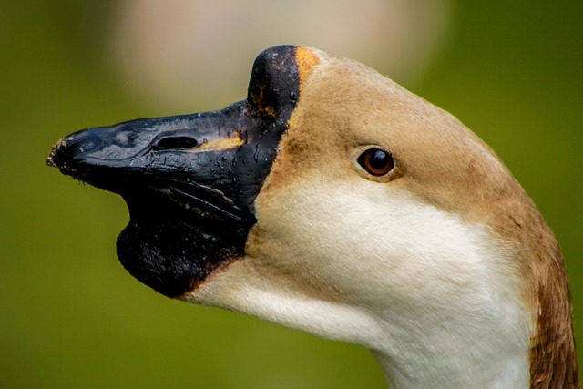 Swan bird the head of the, animals.