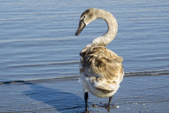 Swan great mal, animals.