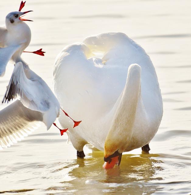 Swan gulls dispute, animals.