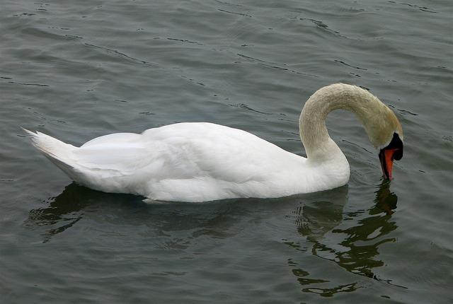 Swan mute bird, animals.