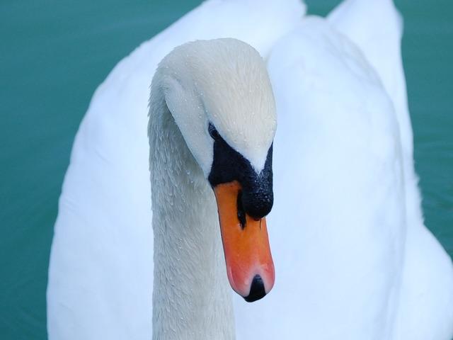 Swan mute head, animals.