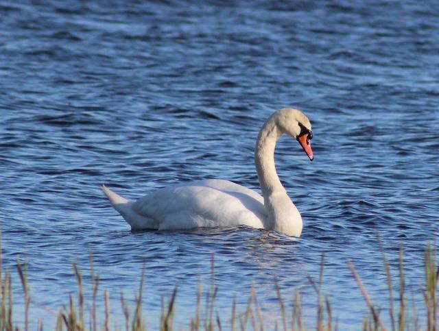 Swan mute swimming, animals.