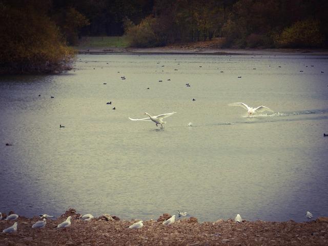 Swan paderborn lake.