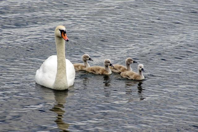 Swan swans chicks.