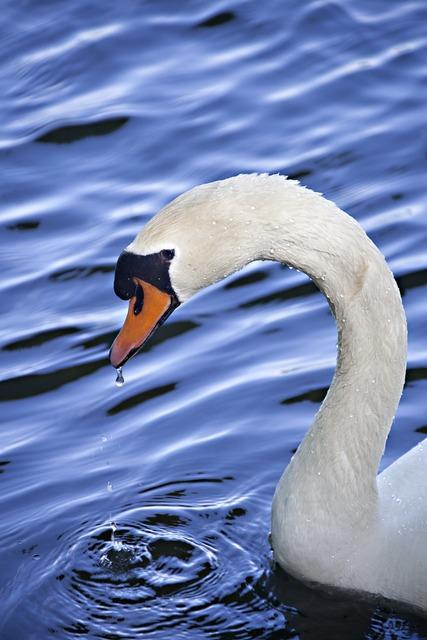 Swan water animal, animals.