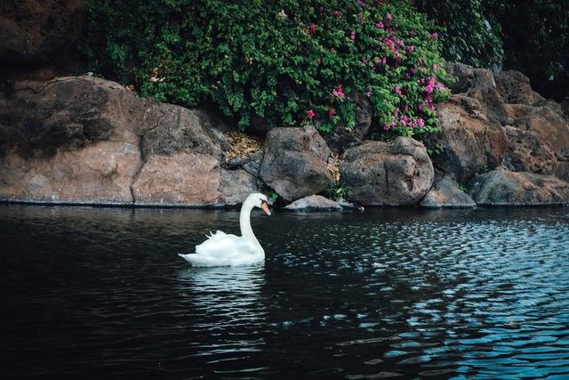 Swan white bird, animals.