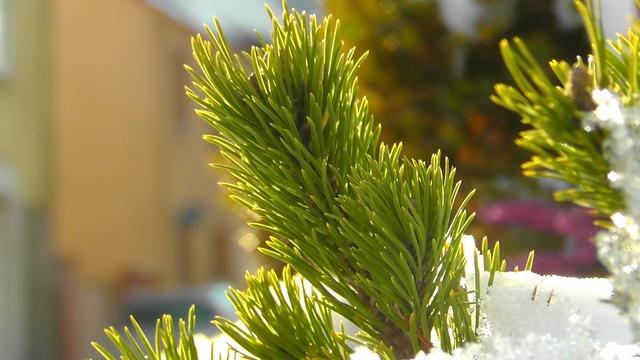 Tannenzeig conifer needles.