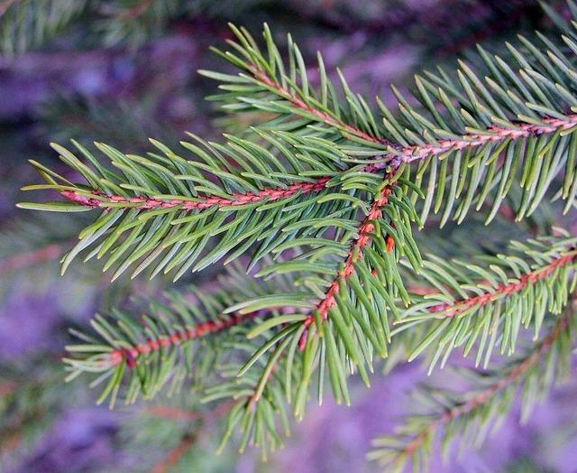 Tannenzweig pine needles needles.