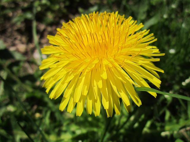 Taraxacum dandelion wildflower, nature landscapes.