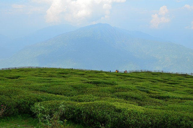 Tea green valley, nature landscapes.