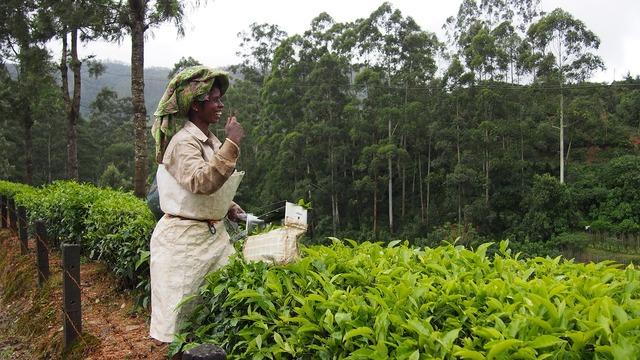 Tea plantation india munnar.