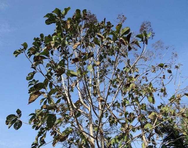 Teak tree tectona grandis deciduous.