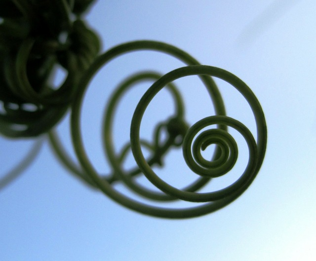 Tendril climber spiral, nature landscapes.