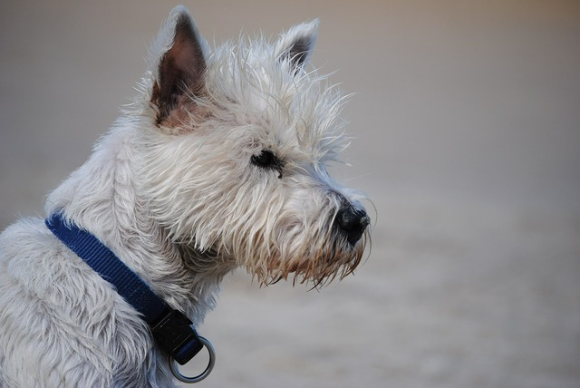Terrier west highland terrier dog, animals.