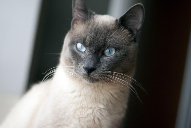 Thai cat cat blue eyes, animals.