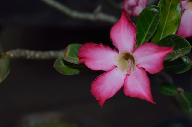 The azalea flowers desert flower, nature landscapes.