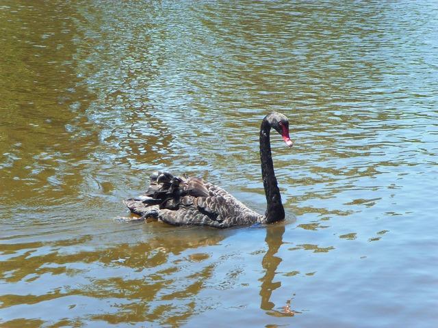 The black swan river kuroshio.
