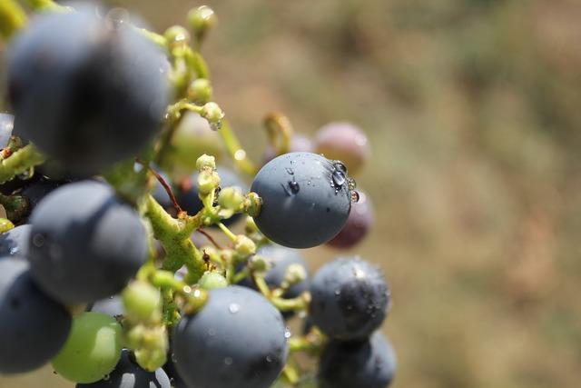 The grapes purple wine.