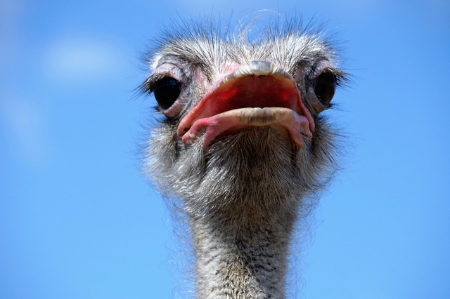 The ostrich head grimace, animals.