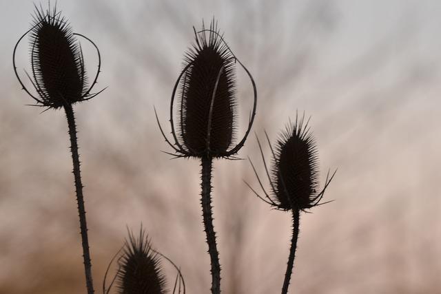 Thistle plant natural, nature landscapes.