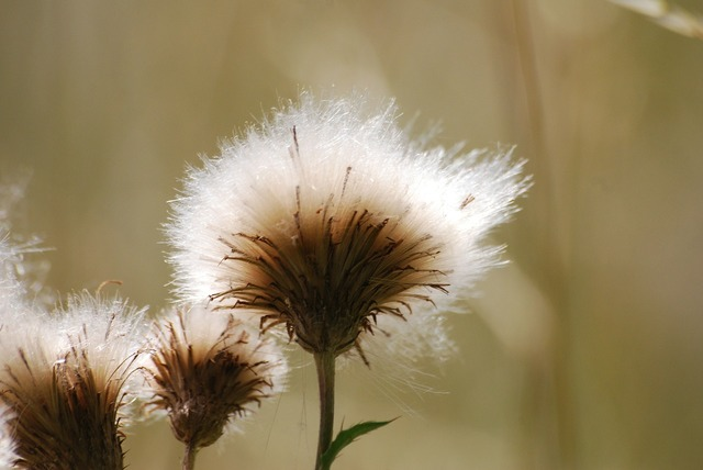 Thistle seeds weed.