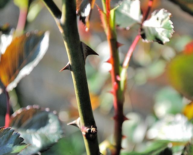 Thorns close plant, nature landscapes.