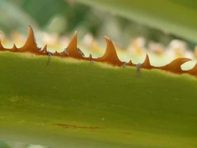 Thorns pink leaf.