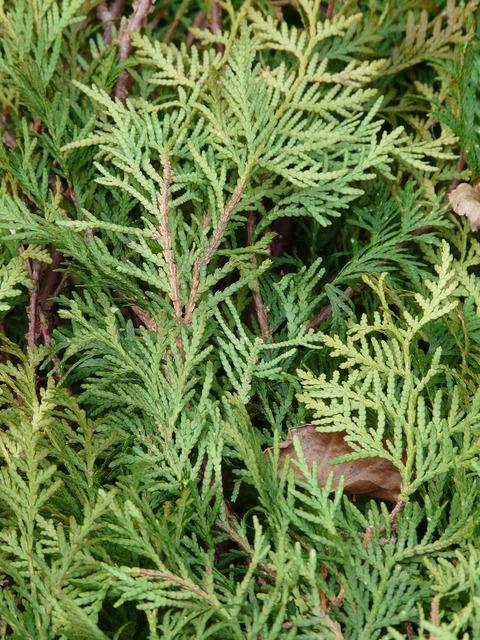 Thuja thuja lebensbaum thuja occidentalis, nature landscapes.