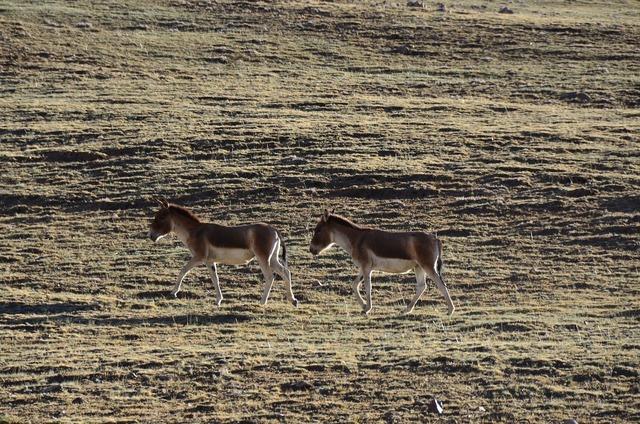 Tibet wild 驢 pet, animals.