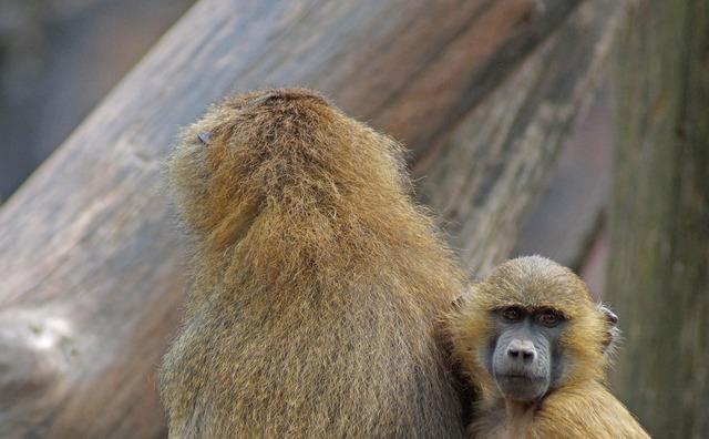 Tiergarten baboon monkey baby.
