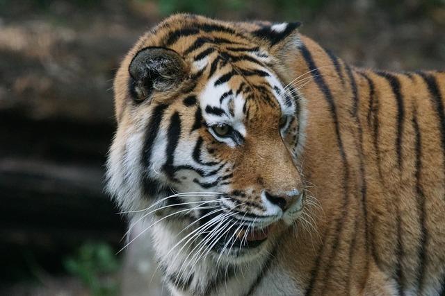 Tiger amurtiger predator, animals.