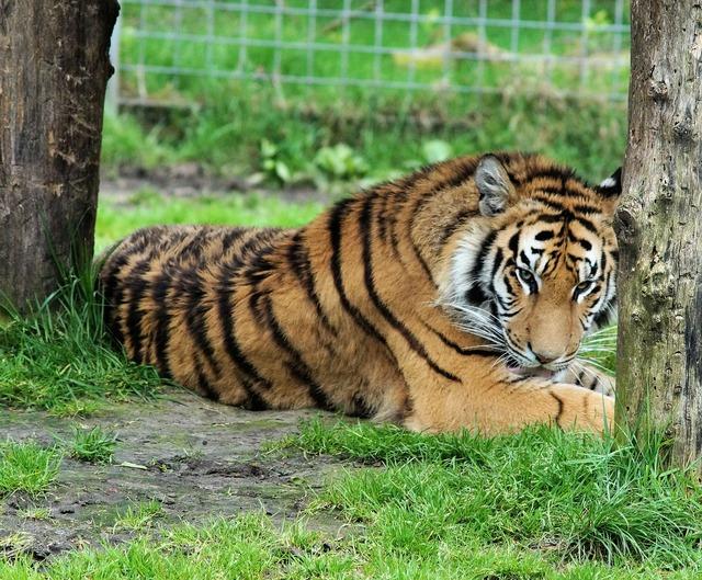 Tiger bengal tiger king tiger, animals.