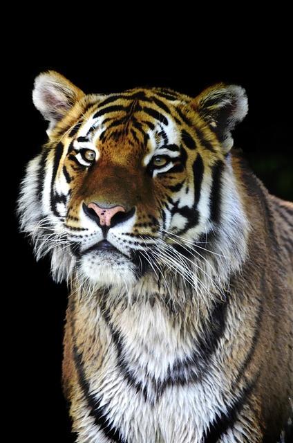 Tiger big cat cat, animals.