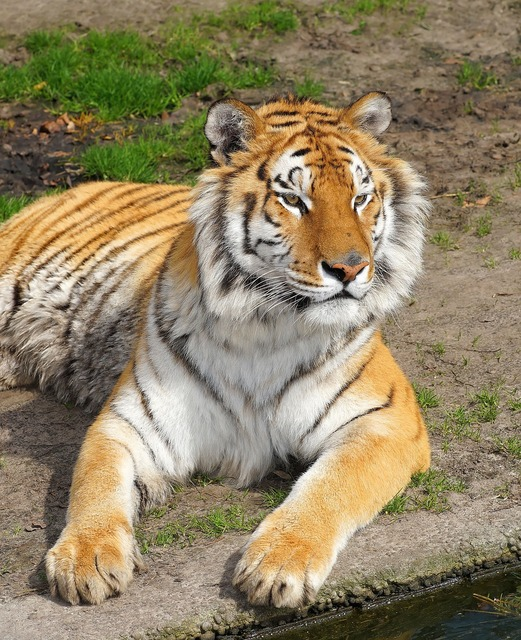 Tiger big cat predator, animals.