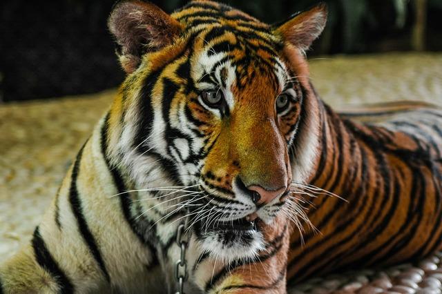 Tiger cat portrait, animals.