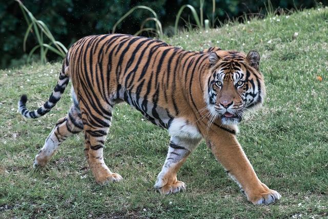 Tiger cat predator, animals.