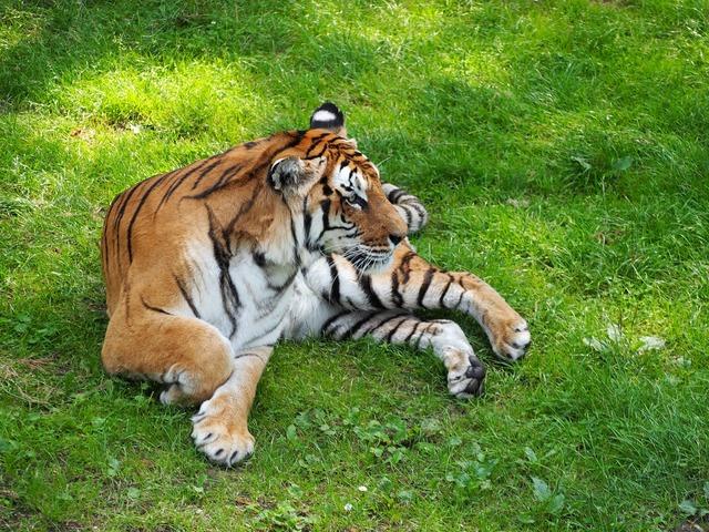 Tiger cat serengeti park, animals.