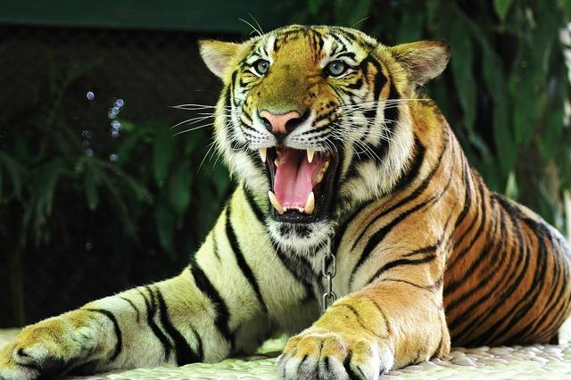 Tiger cat thailand, animals.