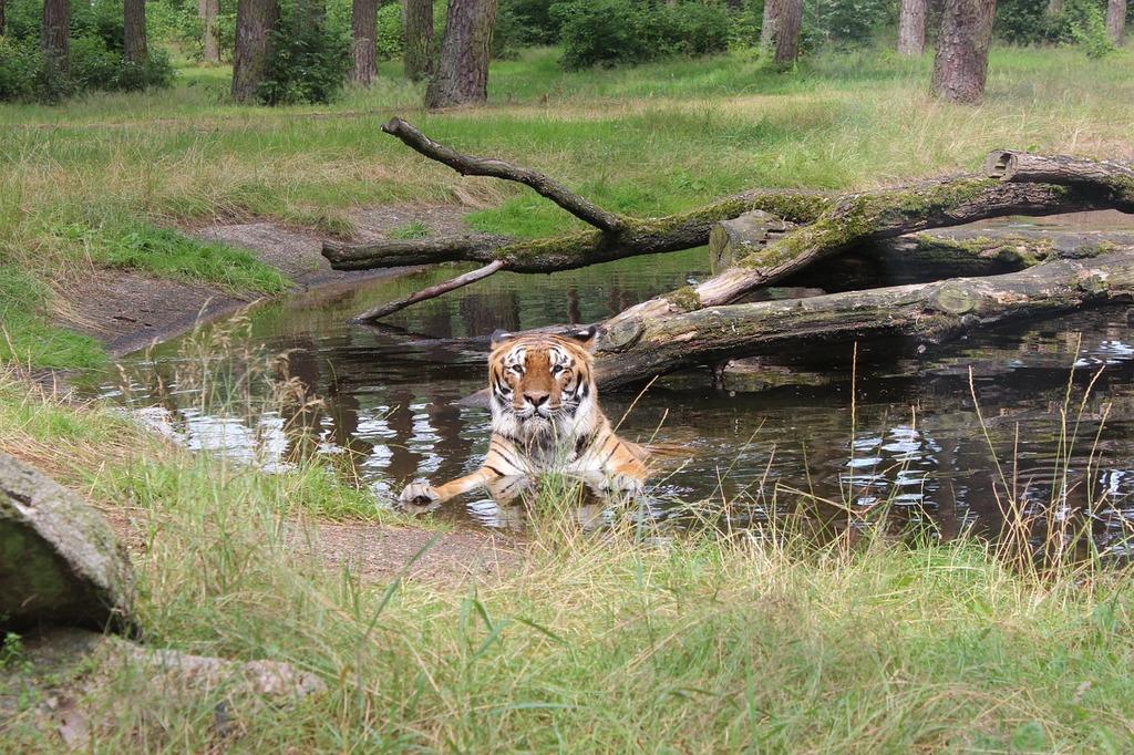 Tiger cat wilderness, animals.