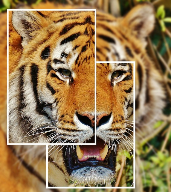 Tiger collage predator, animals.