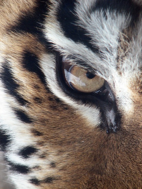 Tiger eye siberian tiger, animals.
