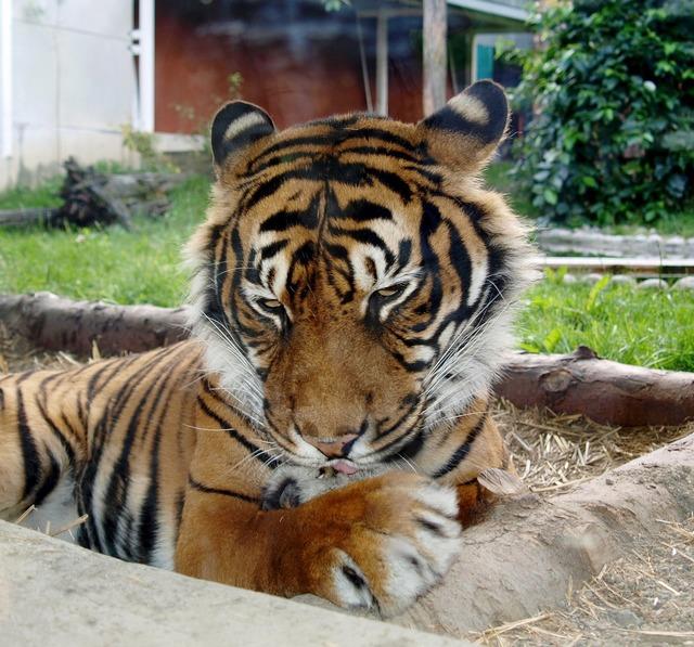 Tiger feline predators, emotions.