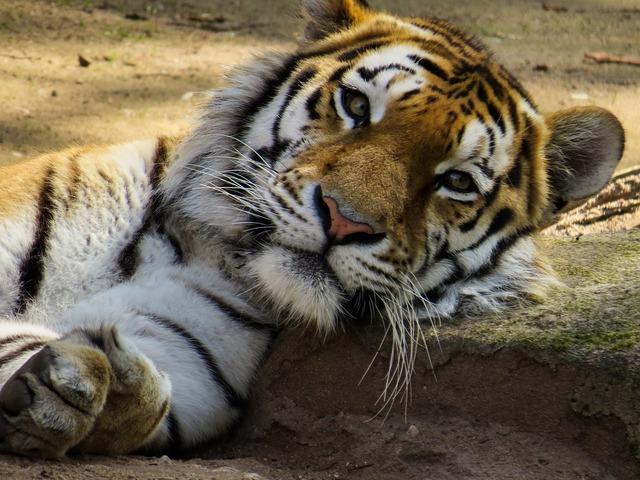 Tiger head cat, animals.