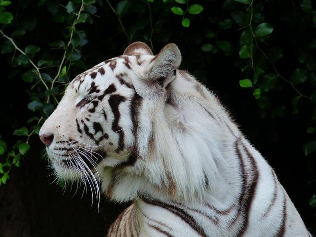 Tiger head head portrait, animals.