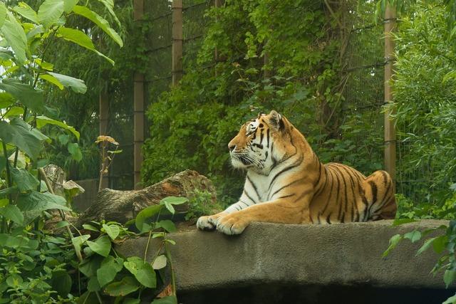 Tiger korkeasaari cat, animals.